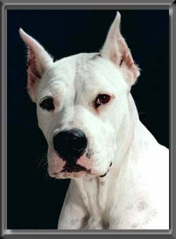 Face Of Argentine Dogo